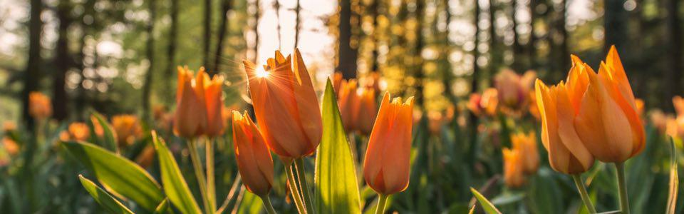 arreglos florales tulipanes
